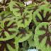 Mengenal Jenis Jenis Tanaman Hias Begonia
