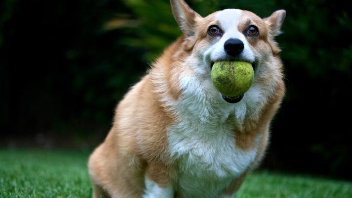 cachorro carregando bola tenis