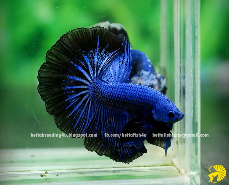 Blue halfmoon betta fish - photo#20