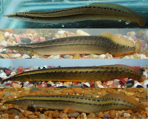 the first images of live individuals of 4 new spiny eels from myanmar ...