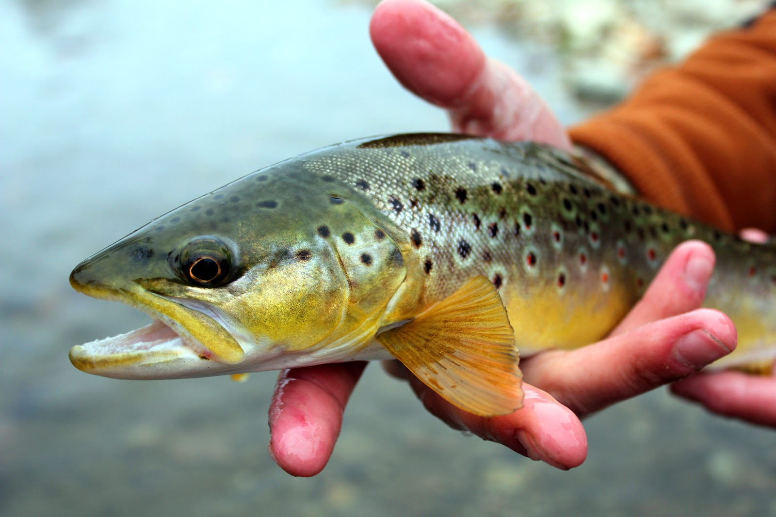 Bitterroot River Brown Trout
