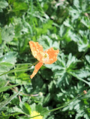 Welsh Poppy Orange