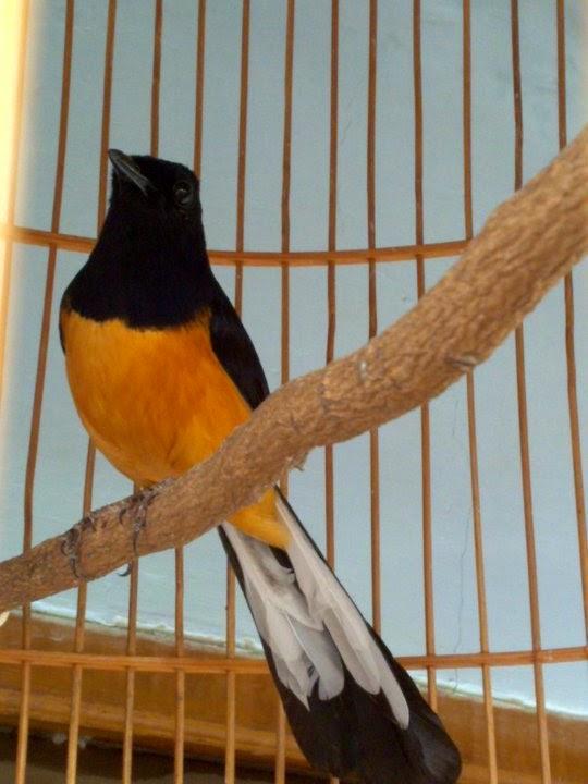 Gambar Cara Merawat Burung Murai Batu