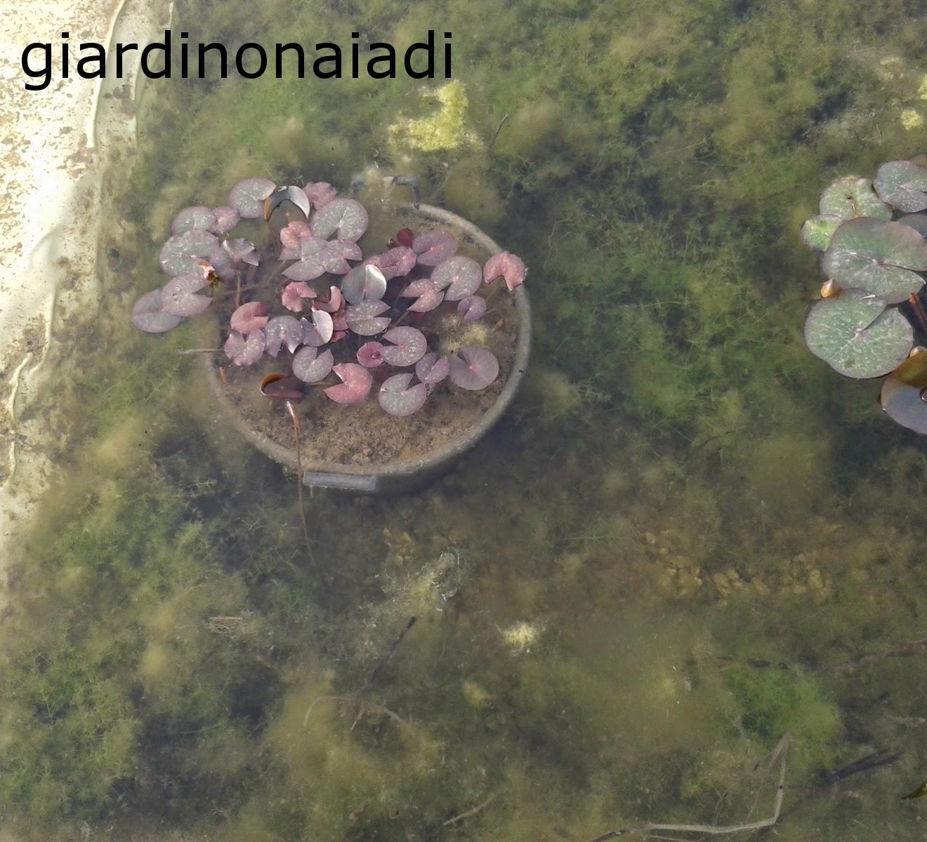 Il giardino delle naiadi filtrazione naturale e tecnica for Laghetto alghe
