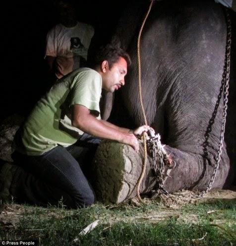 Raju, gajah yang dipasung selama 50 tahun