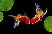 #2 Goldfish Wallpaper