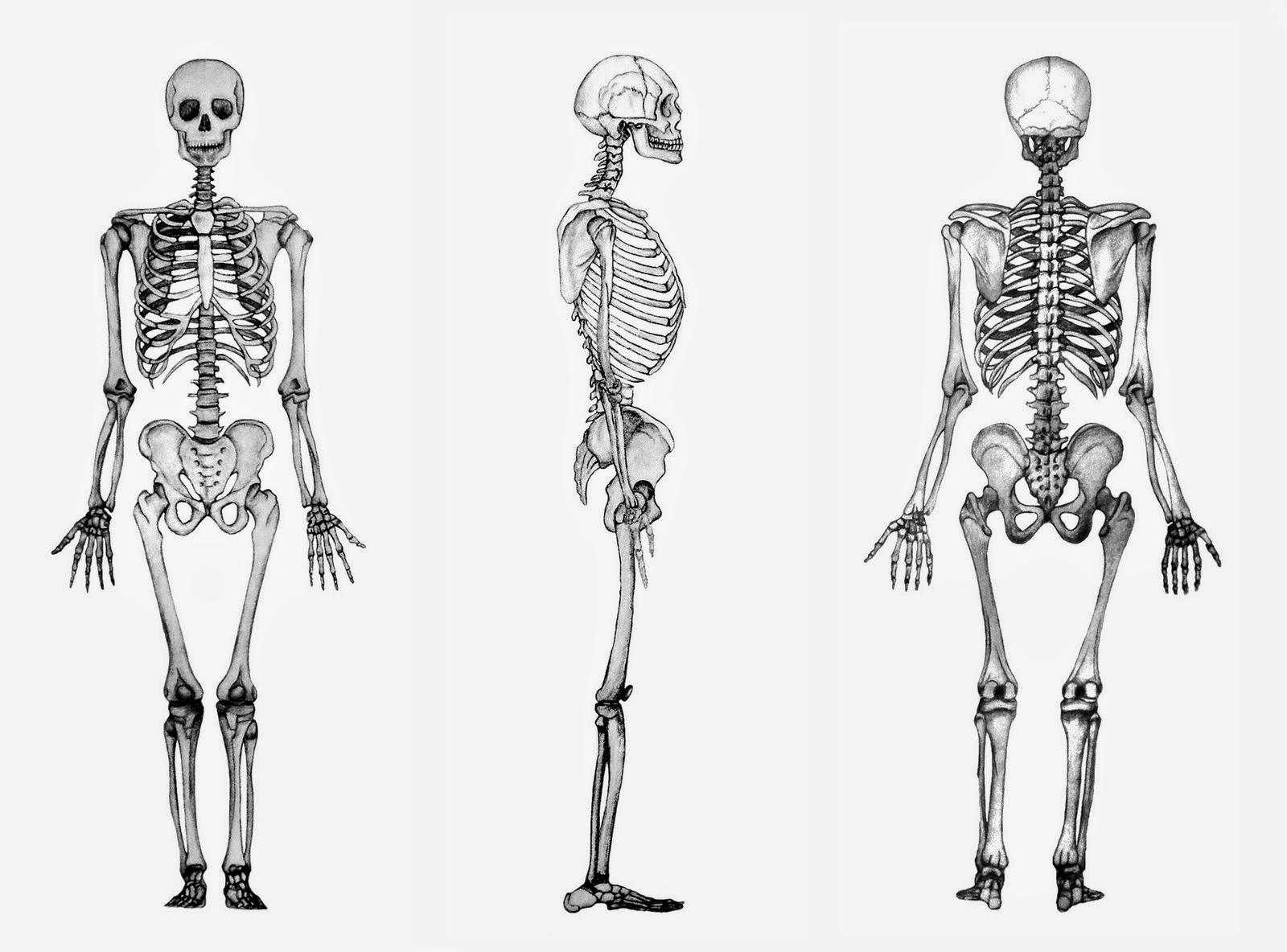 Paleolitico Noticioso: La agricultura hizo más frágiles los huesos ...