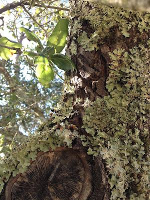 Lichen, San Francisco Bay Area