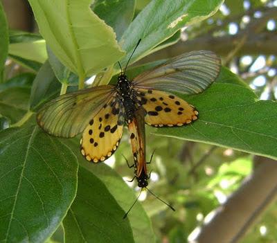 Motyle Acraea