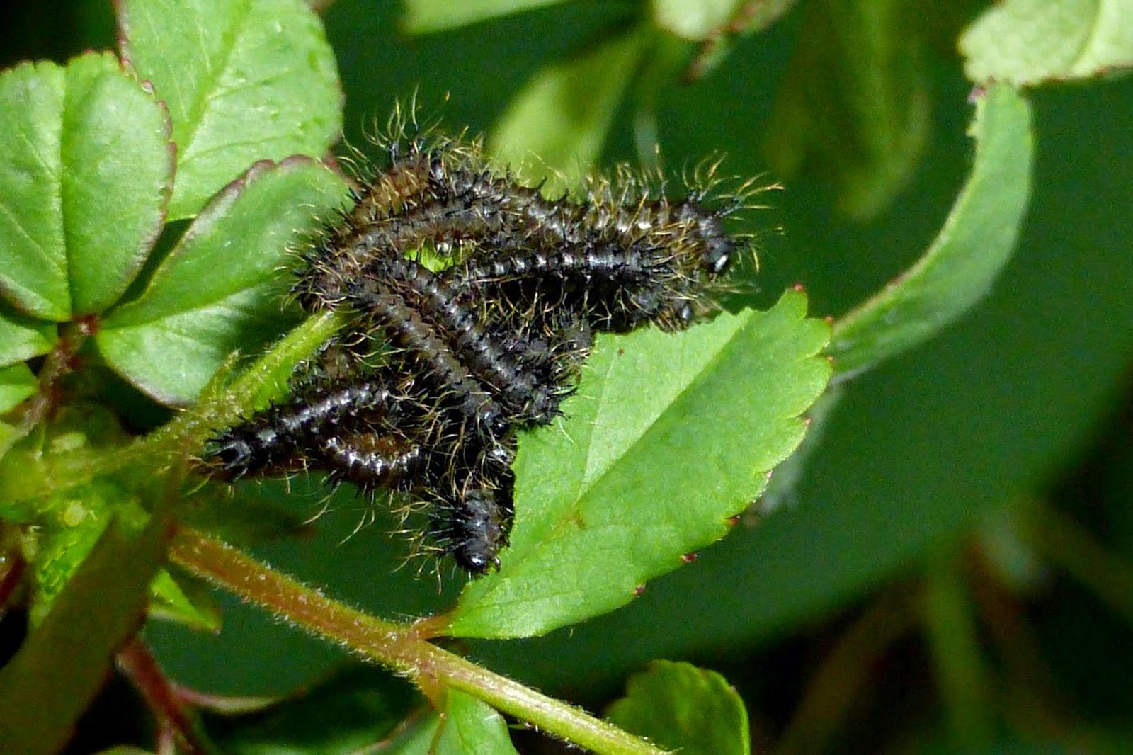 Hemileuca eglanterina caterpillar