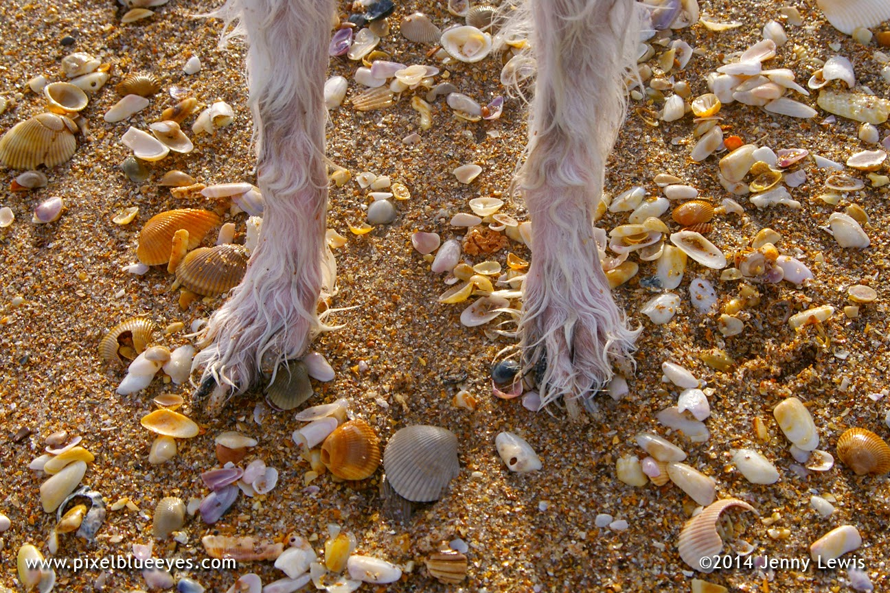 Close up photo of Pixel's wet paws, as she stands on the beach surrounded by sea shells.