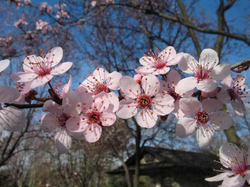 Prunus Cerasifera Thundercloud, Courtesy Missouri Botanical Garden  PlantFinder