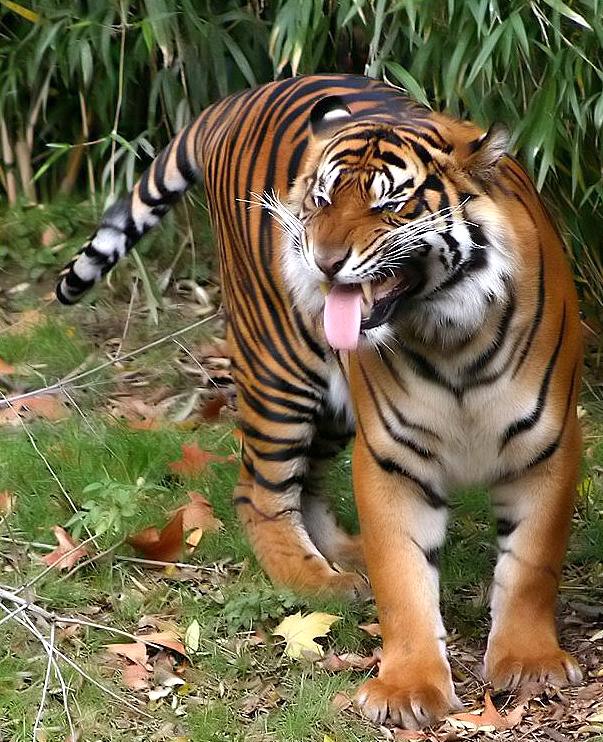 El Tigre entonces paro bruscamente, y muerto de miedo dio media vuelta ...