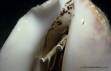 Milk Conch (Strombus costatus), Cayman Islands