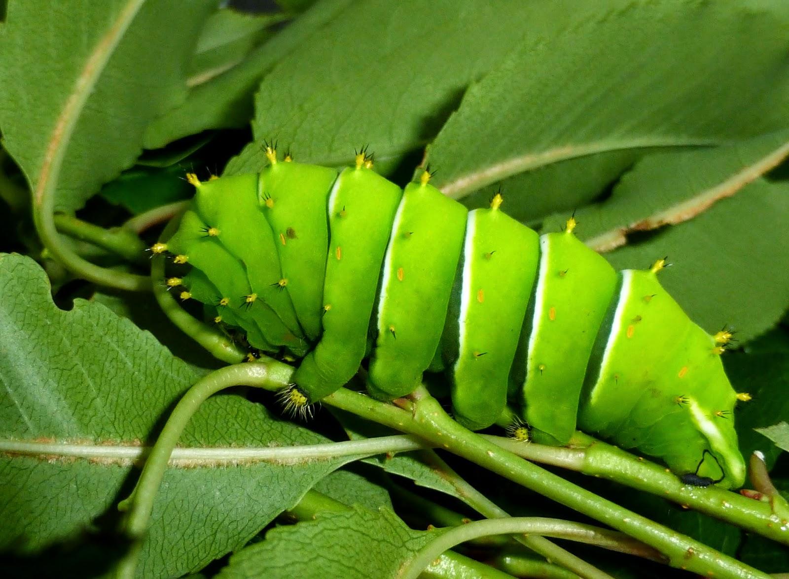 Rothschildia lebeau forbesi caterpillar L5