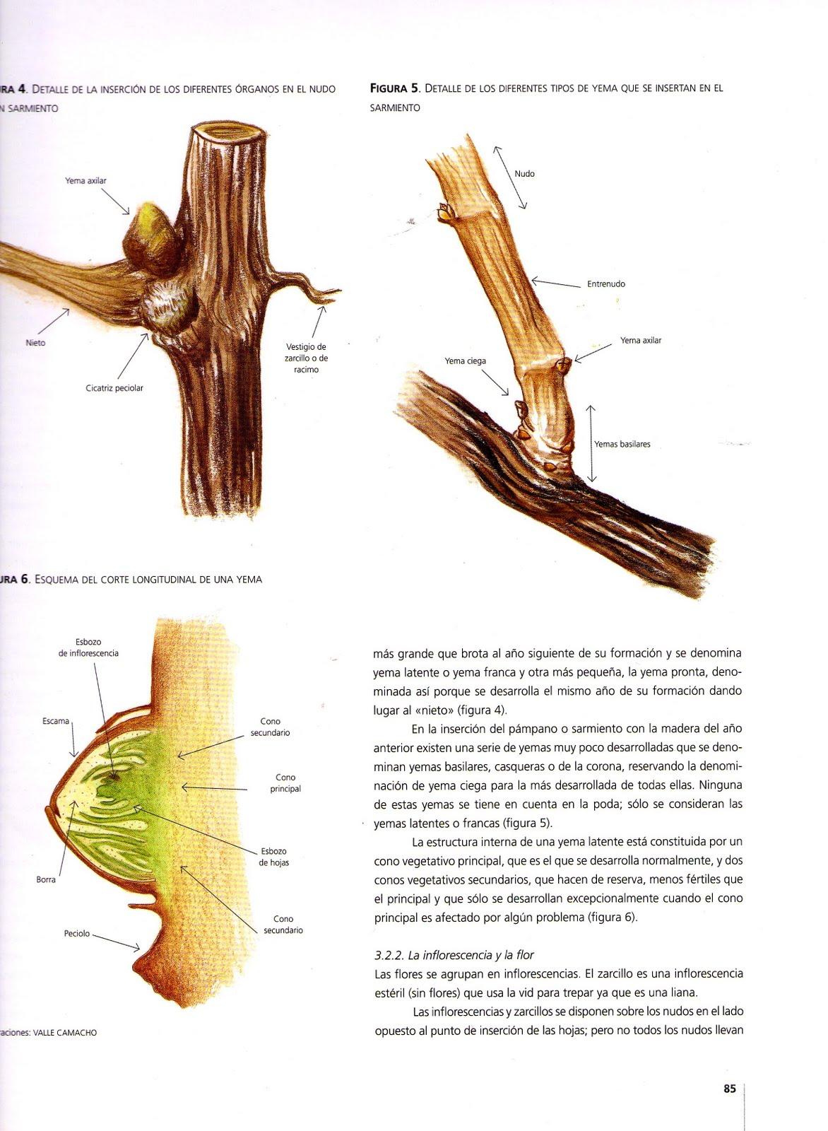 VALLE CAMACHO: DESNUDOS INTEGRALES. ilustración, Anatomía de la vid ...