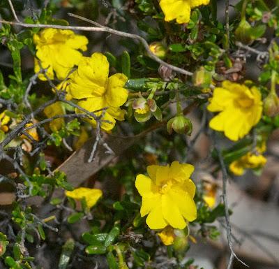Yellow Buttercups (Hybbertia hypericoides)