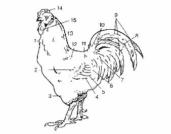 Sơ đồ tên gọi các vùng lông của gà