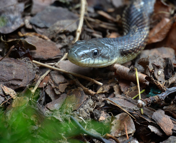 Black Rat Snake (Elaphe obsoleta obsoleta)