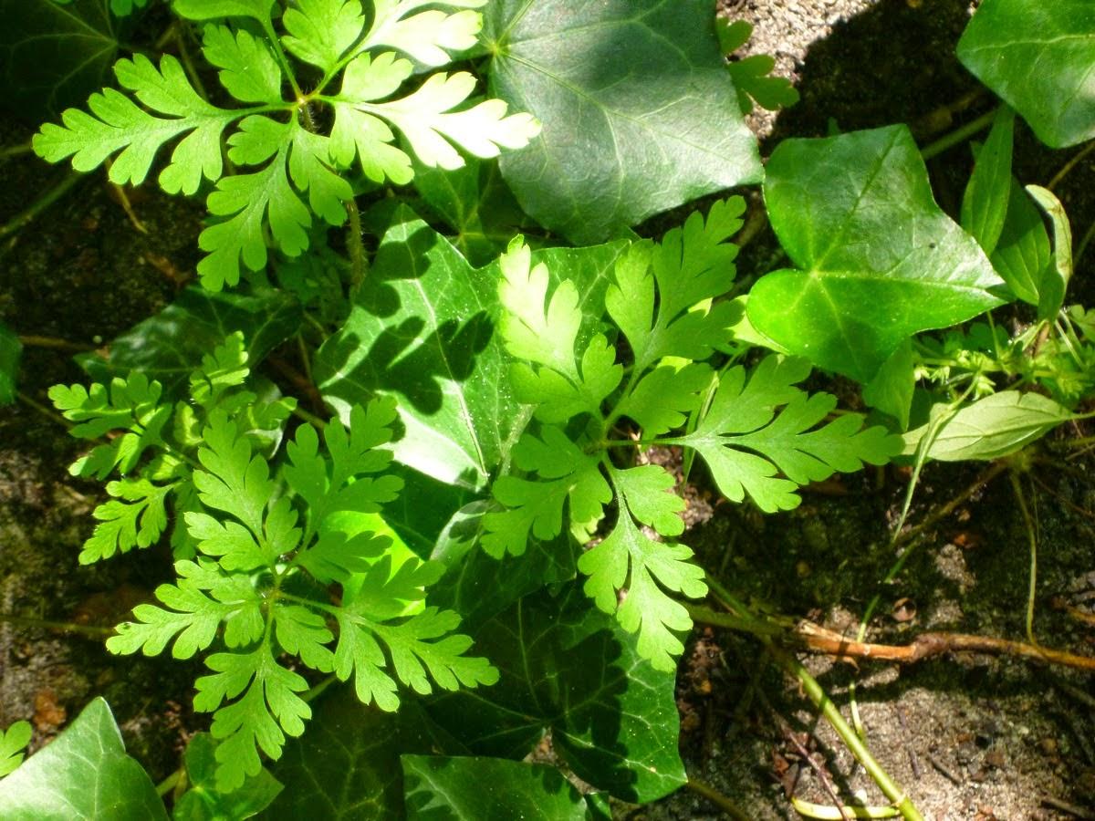 Efeu, Erde und zart geformte Blätter, die Schatten werfen