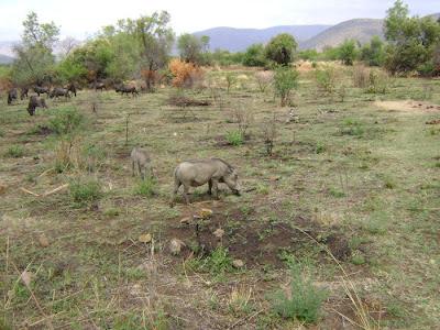 Guźce widziane w Pilanesbergu w czasie wycieczki