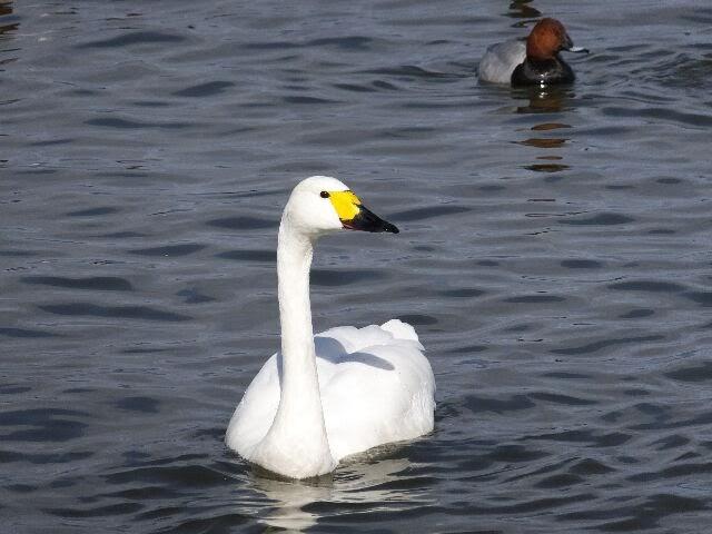 湖や沼を経由し遥々、約1ヶ月4500㌔の長旅を終えて琵琶湖・草津湖岸に飛来してくる。