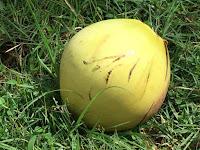 maahan tippunut Kookospähkinä