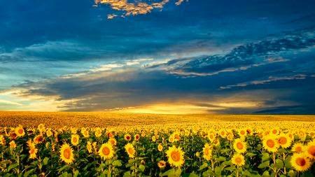 ảnh cánh đồng hoa tulip lúc hoàng hôn