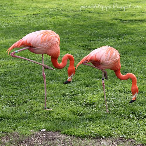 pasandolopipa : flamencos del zoo de madrid
