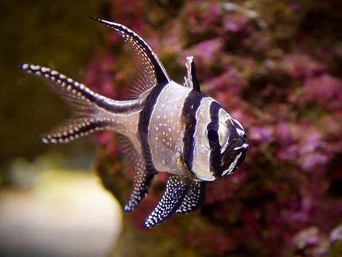 banggai cardinalfish - photo #8