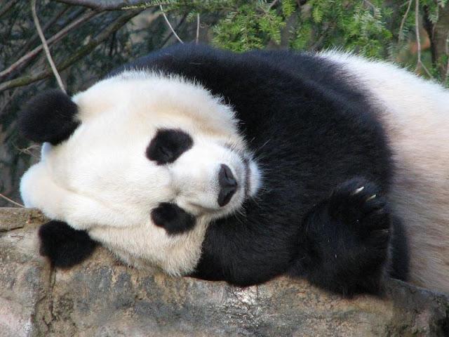 Panda during sleep
