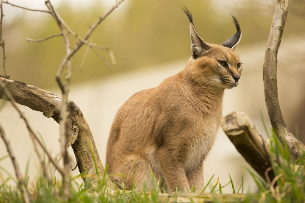 2. Photograph Caracal by Matt Sven Bjork