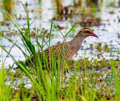 Buff-banded Rail (Gallirallus philippensis) by Vincent Wong