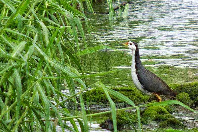 bird in water, シロハラクイナ