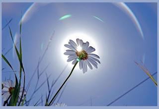 زهرة البراري