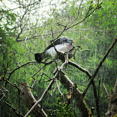 Wood pigeon in an apple tree in the rain. Big rainstorm with wood pigeon lifting his wing up to shelter.