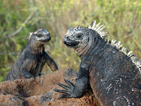 Iguanas Shrink in both weight and height without nutrition as a result of El Nino