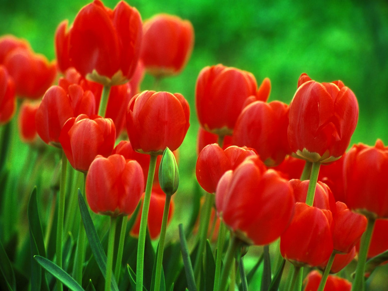 Flowers wallpaper red tulips flowers wallpaper red tulips flowers