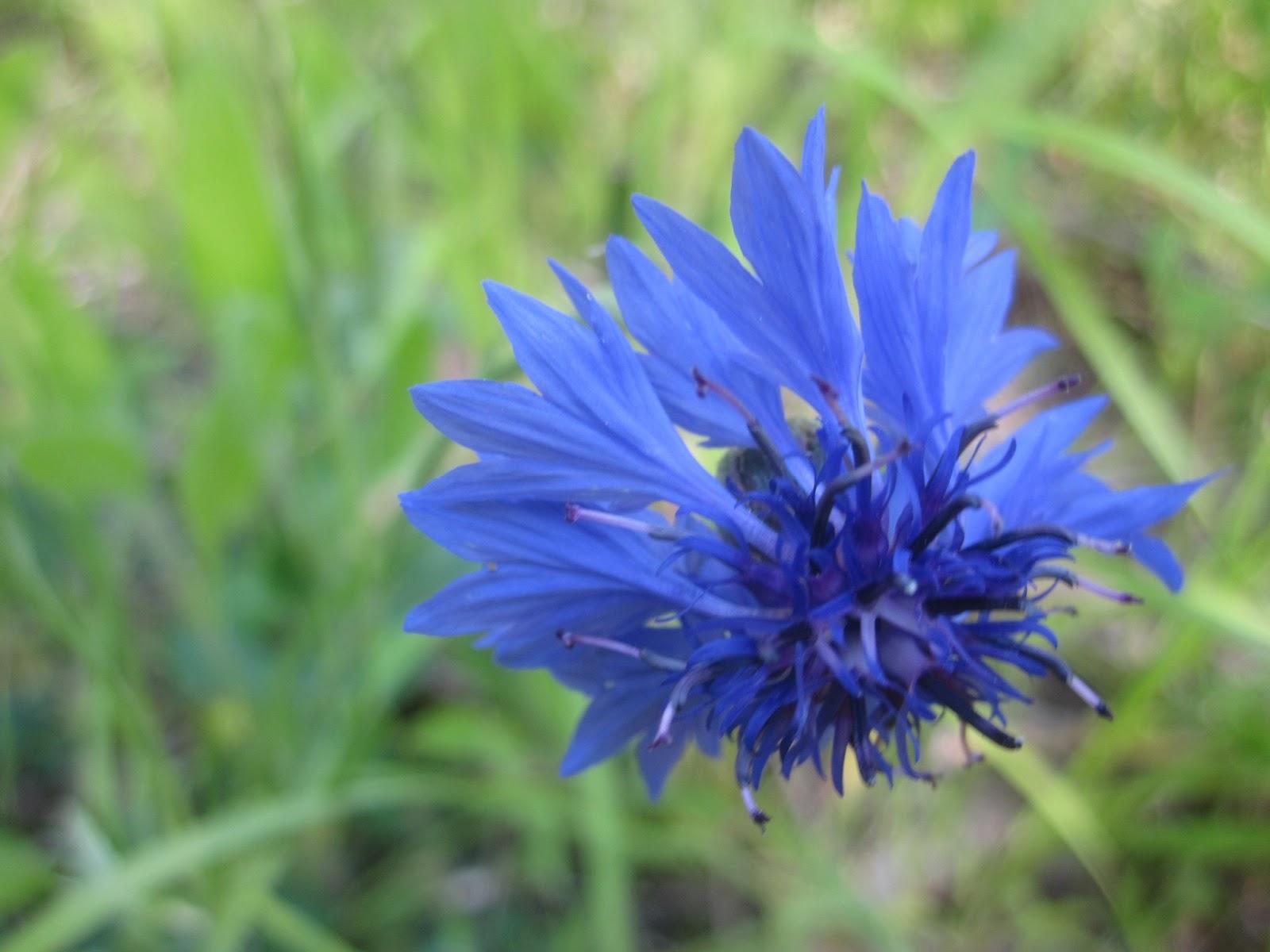 Rensselaer Plateau Life Cornflower