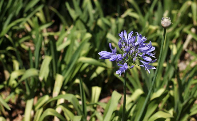 African Lily Flowers Pictures