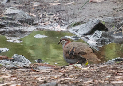Brush Bronzewing (Phaps elegans)
