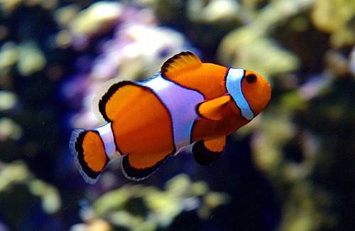 Beautiful creatures of the sea photos and information for Clown fish facts