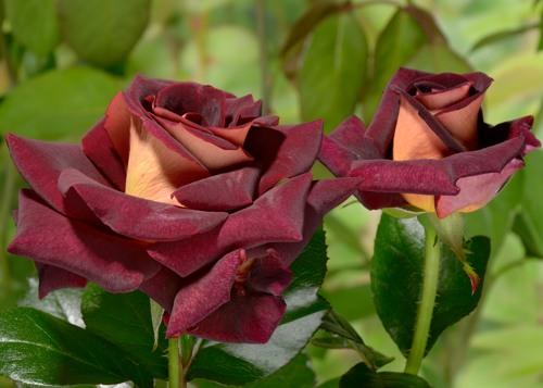 Eddy Mitchel rose сорт розы фото