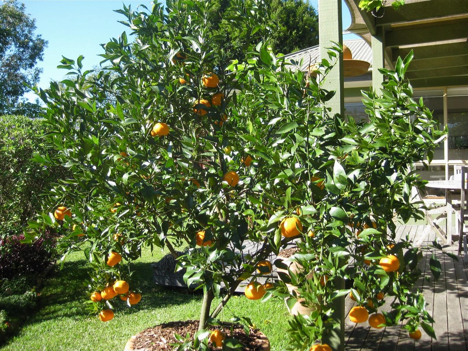 feeding fruit trees in pots
