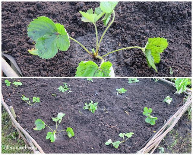 земляника, виктория, клубника, аленин сад, урожай, правила посадки земляники, садовой, садовая,