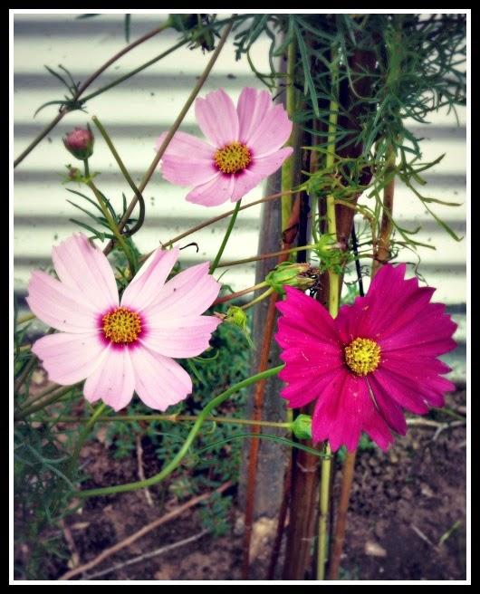 2013 Cosmos Flowers