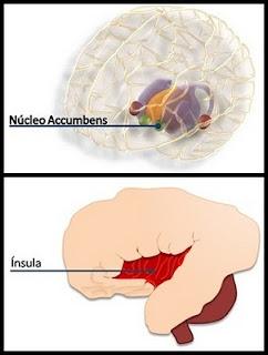 nucleo accumbens, insula