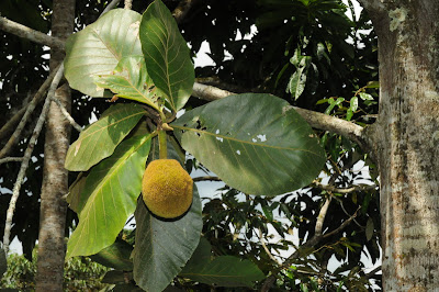 Terap (Artocarpus odoratissimus)