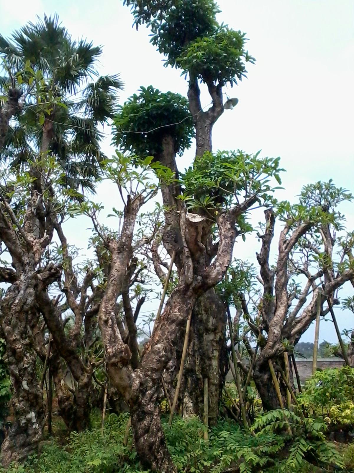koleksi tanaman purba | jual pulay | pule | tanaman unik | pohon antik