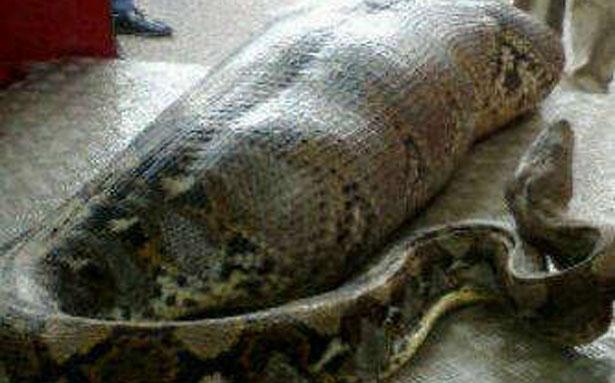 Foto ular sawah terbesar di dunia 78